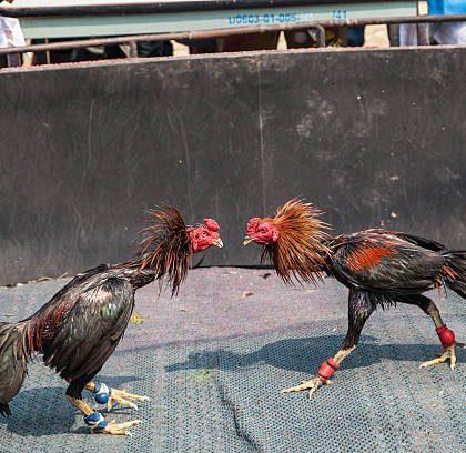 Trik Jitu Agar Menang Judi Sabung Ayam