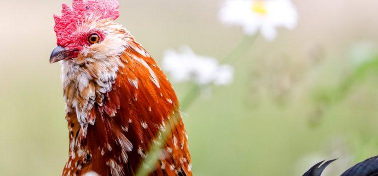 Memulai Permainan di Dalam Situs Judi Sabung Ayam Online